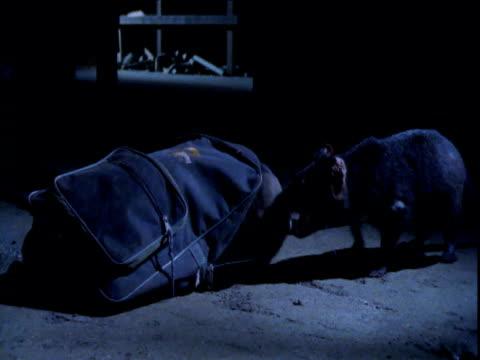 stockvideo's en b-roll-footage met pair of tasmanian devils fight over contents of rucksack in workshop, tasmania - jaar 2000 stijl