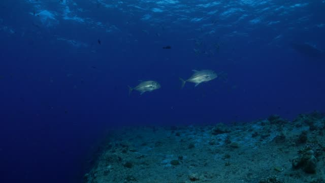 pair of trevally jack fish undersea - jack fish stock videos and b-roll footage