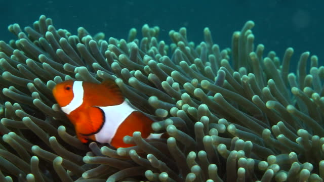 pair of true percula clown fish move through a anemone - close up