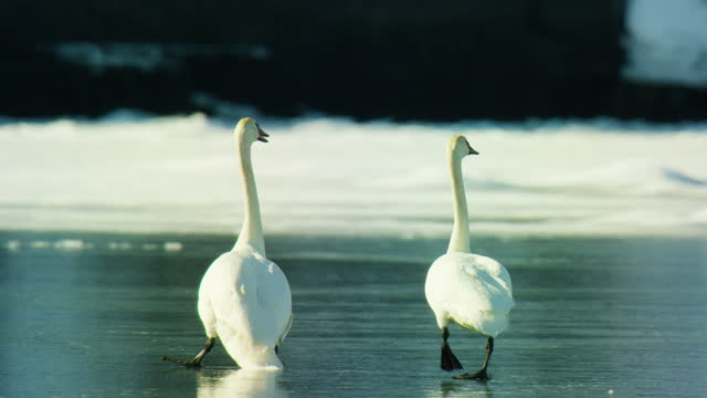 pair of trumpeter swans walk together on ice and one slips comically - animals in the wild stock videos & royalty-free footage