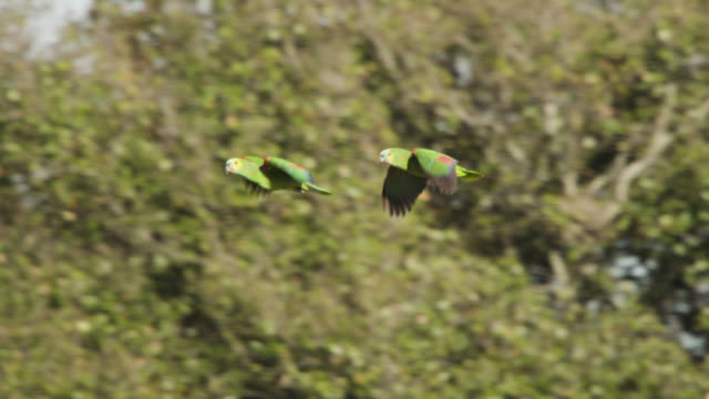 vídeos de stock e filmes b-roll de pair of turquoise fronted amazon parrots (amazona aestiva) fly past trees. - coordenação