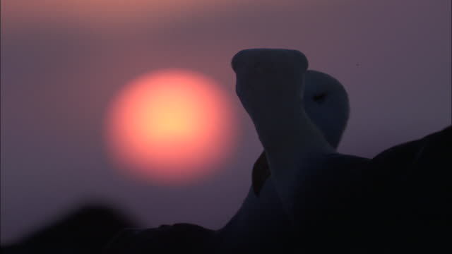 A pair of waved albatrosses preen each other at sunset. Available in HD.