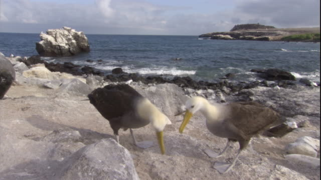a pair of waved albatrosses spar and preen. available in hd. - maul stock-videos und b-roll-filmmaterial