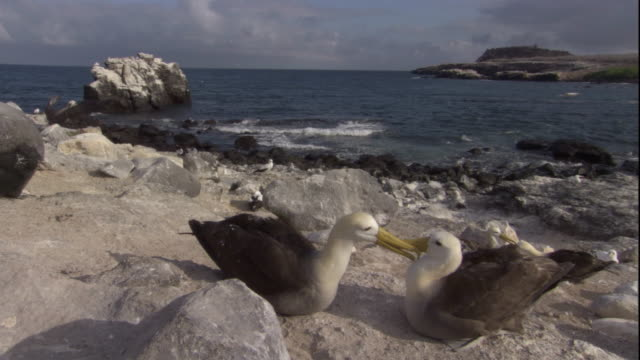 a pair of waved albatrosses spar and preen on a rocky beach. available in hd. - maul stock-videos und b-roll-filmmaterial