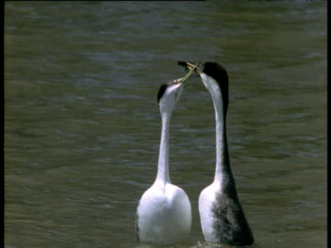 Pair of Western grebes perform a courtship dance with twig gifts in their beaks
