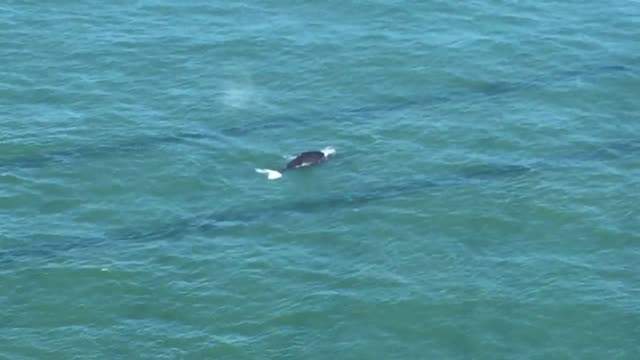 pair of whales has been spotted swimming on the san francisco side of the golden gate bridge. - cetacea bildbanksvideor och videomaterial från bakom kulisserna