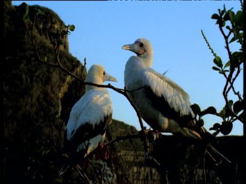 vídeos y material grabado en eventos de stock de pair of white morph red footed boobies perched in tree, one preens, galapagos - alcatraz patirrojo