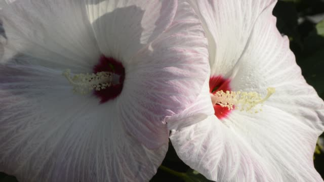 Pair of white perennial hibiscus flowers