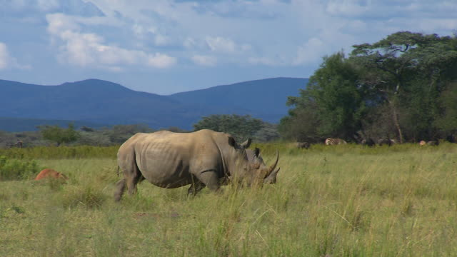 A pair of white rhinos cross a grassy plain in South Africa. Available in HD.