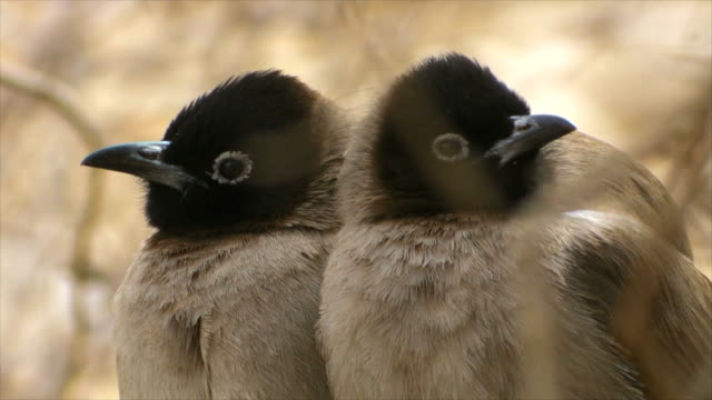 CU Pair of white spectacled Bulbuls (Pycnonotus xanthopygos) standing close together on tree / Ein Bokek, Judea Desert, Israel