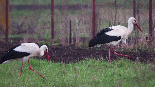 vídeos de stock, filmes e b-roll de pair of white stork walking on the green meadow - ponto de referência natural