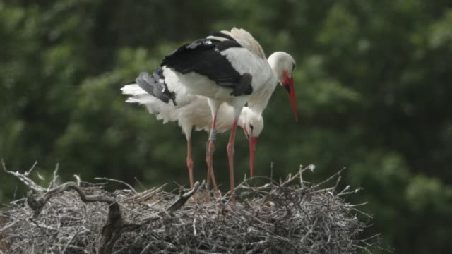 a pair of white storks are seen on a nest on may 22 2020 in horsham england the birds are one of several breeding pairs in an area of horsham one of... - environmental issues stock videos & royalty-free footage