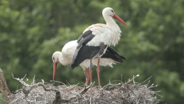 GBR: Wild White Storks Nest In West Sussex