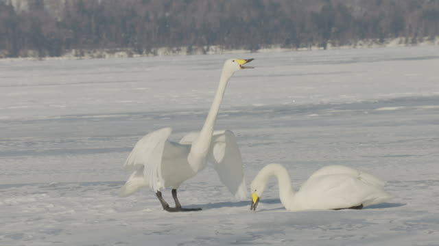 pair of whooper swans (cygnus cygnus) on frozen lake. japan - pair stock videos & royalty-free footage