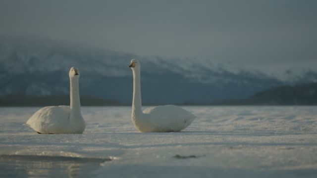 pair of whooper swans (cygnus cygnus) rest on frozen lake, one stands up. japan - frozen stock videos and b-roll footage