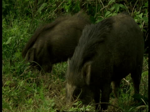 ms pair of wild boar, sus scrofa, foraging in grass, western ghats, india - foraging stock videos and b-roll footage