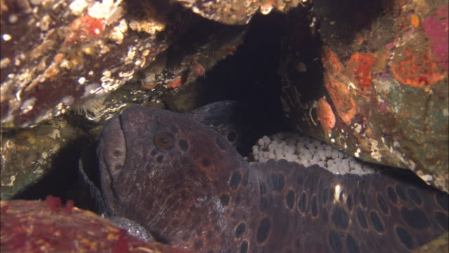 Pair of wolf eels (Anarrhichthys ocellatus) with egg mass in crevice, Vancouver Island, BC, Canada