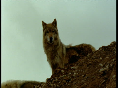 "vidéos et rushes de pair of wolves peer over ridge, idaho - ""bbc natural history"""