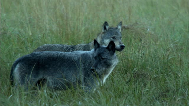 a pair of wolves stand in a grassy field and look around. - pair stock videos and b-roll footage