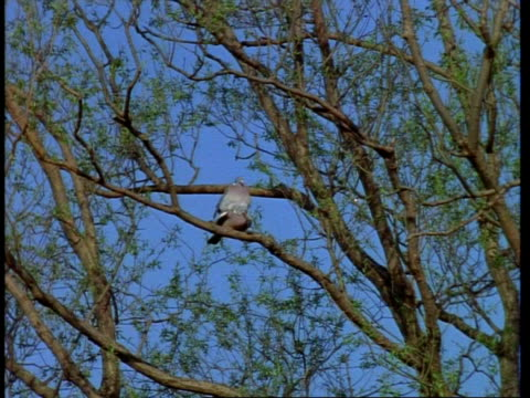 wa pair of wood pigeon, columba palumbus, mating on branch, united kingdom - perching stock videos & royalty-free footage