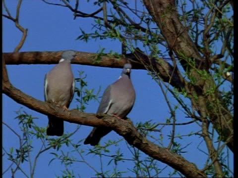 vidéos et rushes de ms pair of wood pigeon, columba palumbus, on branch, united kingdom - branche partie d'une plante
