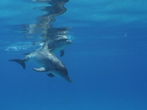 stockvideo's en b-roll-footage met pair of young atlantic spotted dolphins - rugvin