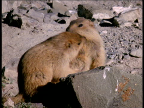 Pair of young marmots wrestling in rocky desert areas, Ladakh