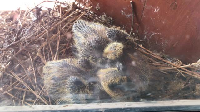pair pigeon chicks in the nest - portello video stock e b–roll