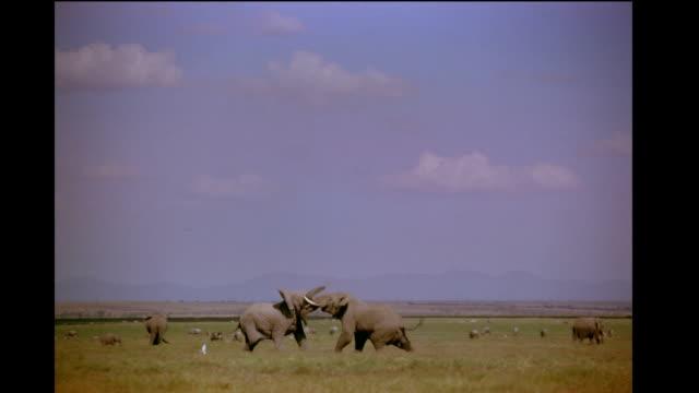pairs of elephants fight in the expansive savanna. - dominering bildbanksvideor och videomaterial från bakom kulisserna