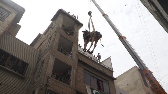 pakistani breeder uses a crane to bring down his animals from the rooftop of a threestory house for transporting them to a livestock market for the... - breeder stock videos and b-roll footage