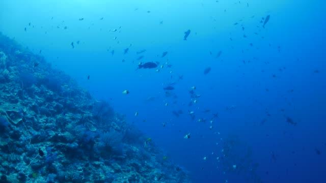 vídeos de stock e filmes b-roll de palau undersea coral reef - lutjanídeo