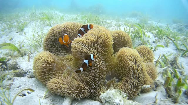 palawan clownfish - okinawa prefecture stock videos & royalty-free footage