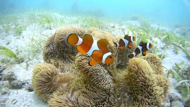 palawan clownfish - sea anemone stock videos & royalty-free footage