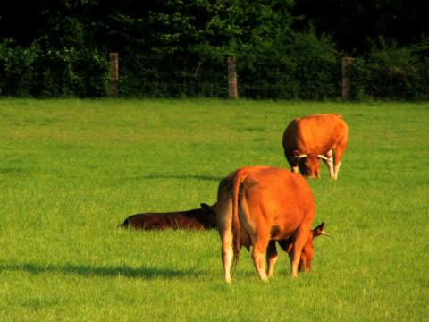 vídeos y material grabado en eventos de stock de pal: ganado - grupo pequeño de animales