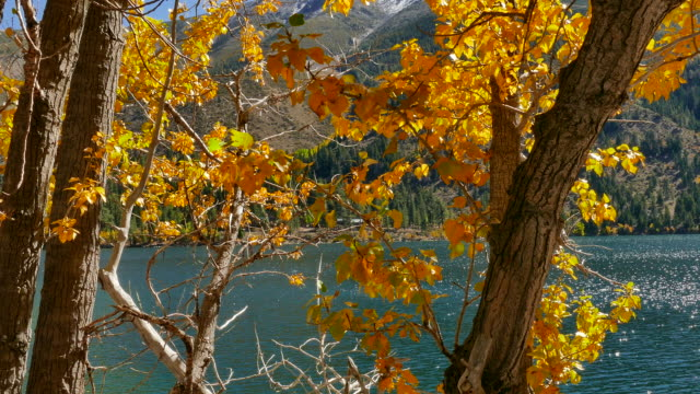 4k - pale blue mountain lake past bright golden cottonwood tree leaves - cottonwood tree stock videos and b-roll footage