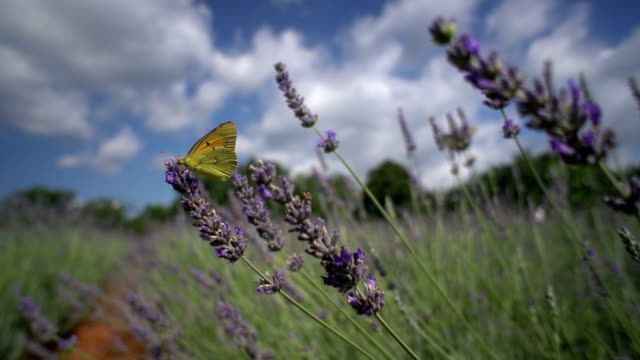 Pale clouded butterfly on lavender