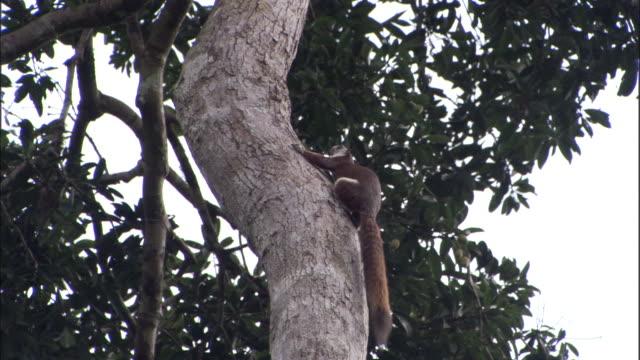 pale giant squirrel (ratufa affinis) climbs tree, sumatra - よじ登る点の映像素材/bロール