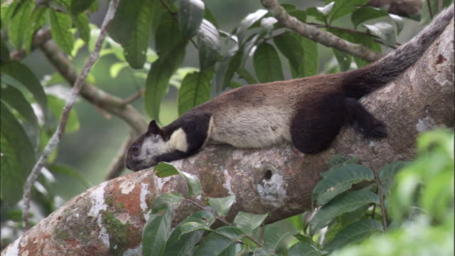 vídeos y material grabado en eventos de stock de pale giant squirrel (ratufa affinis) rests on tree branch, sumatra - isla de sumatra
