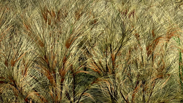 pale grasses wave in a breeze. - impressionism stock videos & royalty-free footage