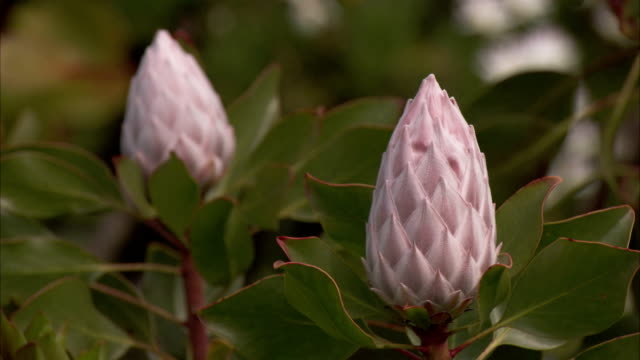 Pale pink flowers grow amid thick leaves. Available in HD.