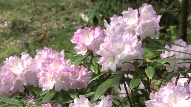 Pale pink rhododendron flowers bloom in bright sunlight.