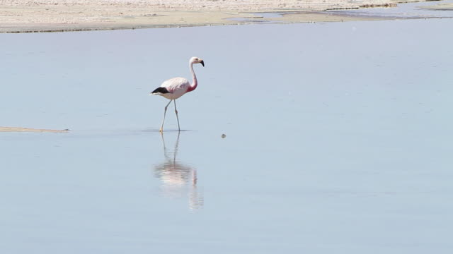 cu pale pinkish flamingo walking for food in shallow blue river with reflection in water / road from san pedro de atacama to laguna miscanti, atacama desert, chile - flamingo stock-videos und b-roll-filmmaterial