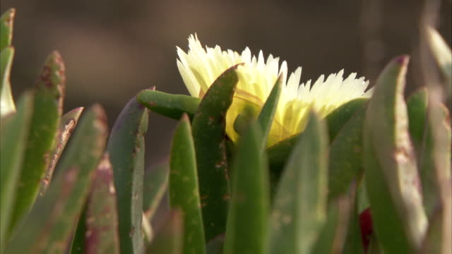 a pale yellow flower grows among leaves. available in hd. - isles of scilly stock videos & royalty-free footage