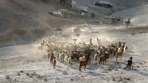 palestine, tabana bedouin camp around jerusalem, herd of goats near the camp - パレスチナ文化点の映像素材/bロール
