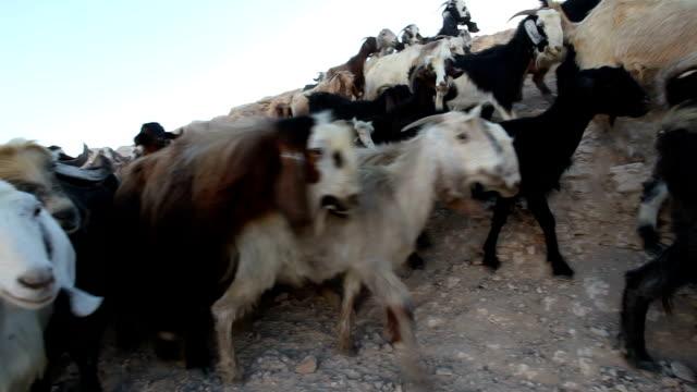palestine, tabana bedouin camp around jerusalem, herd of goats with shepherd - nomadic people stock videos & royalty-free footage