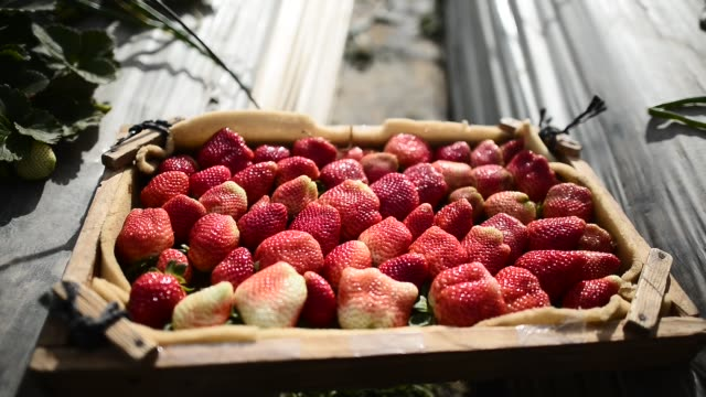 A Palestinian collects strawberries to be put on European market in Gaza Strip which is under Israel blockade in Gaza on Jan 23 2018 Strawberry...