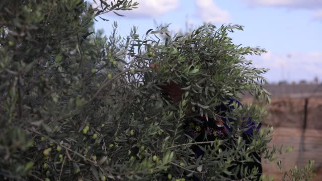palestinian farmers collect olives in an olive grove in rafah in the sothern gaza strip on october 4 2020 - grove stock videos & royalty-free footage