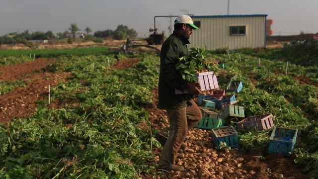 Palestinian farmers collect Potato during the harvest on in Beit Lahia in the northern Gaza Strip on November 20 2016