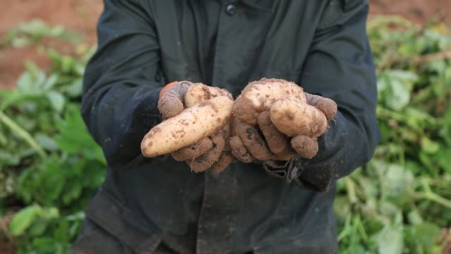 palestinian farmers collect potato during the harvest on in beit lahia in the northern gaza strip, on november 20, 2016. - prepared potato stock videos & royalty-free footage