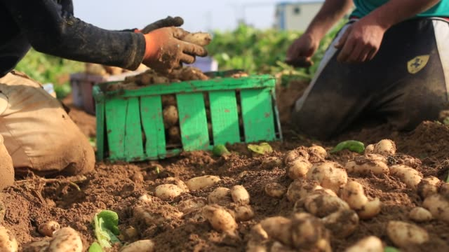 vídeos de stock, filmes e b-roll de palestinian farmers collect potato during the harvest on in beit lahia in the northern gaza strip on november 20 2016 - batatas prontas